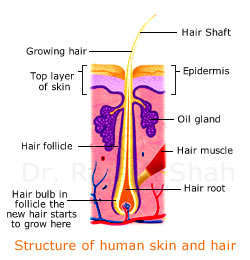 Structure of human skin and hair